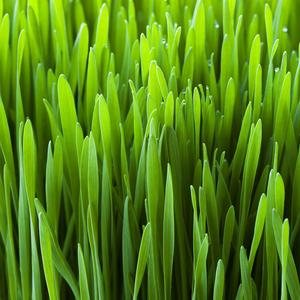 Wheat Grass Juice Powder – Do You Know All The Benefits?